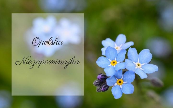 Opolska Niezapominajka 2017.png
